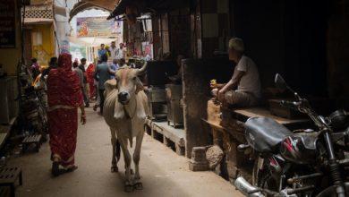 Krowa Indie